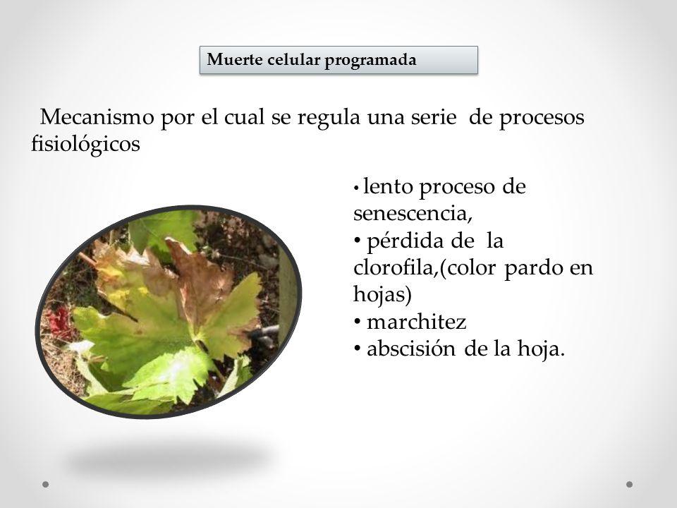 Muerte celular programada Mecanismo por el cual se regula una serie de procesos fisiológicos lento proceso de senescencia, pérdida de la clorofila,(color pardo en hojas) marchitez abscisión de la hoja.