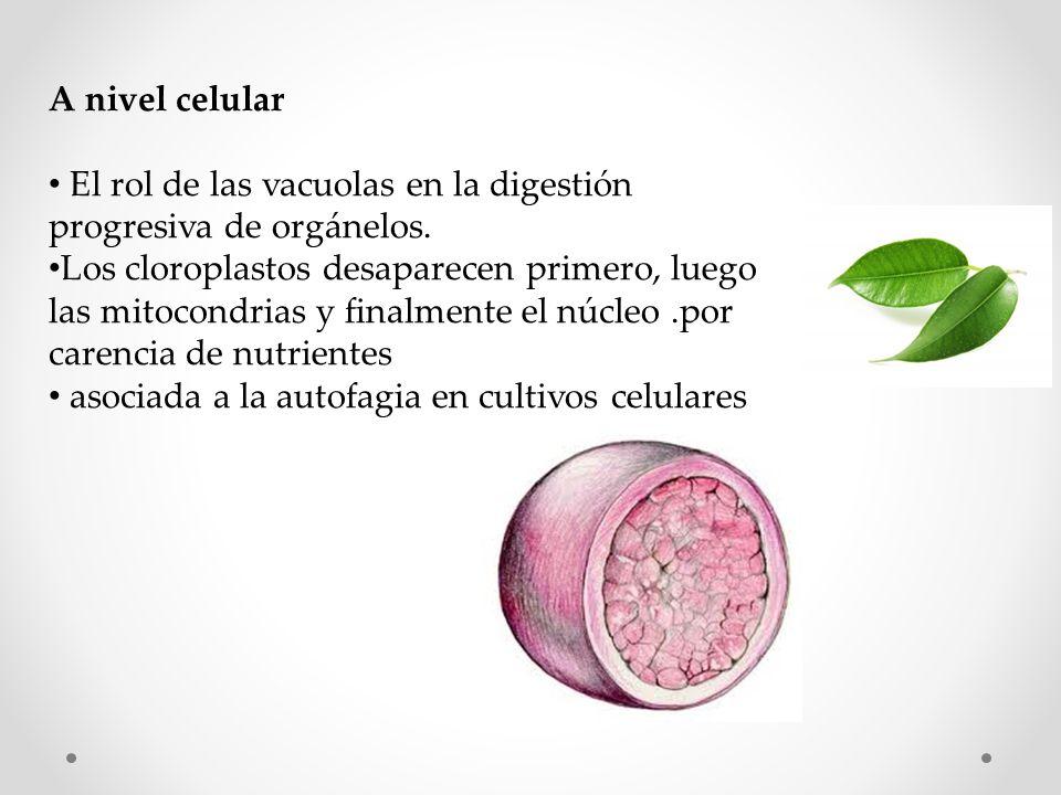 A nivel celular El rol de las vacuolas en la digestión progresiva de orgánelos.