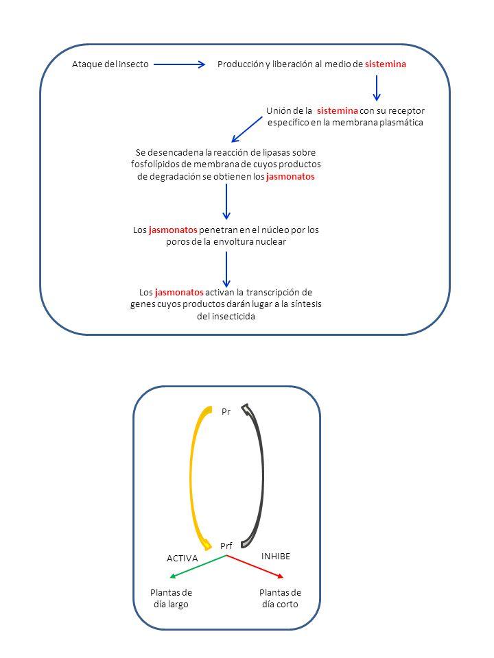 Ataque del insectoProducción y liberación al medio de sistemina Unión de la sistemina con su receptor específico en la membrana plasmática Se desencadena la reacción de lipasas sobre fosfolípidos de membrana de cuyos productos de degradación se obtienen los jasmonatos Los jasmonatos penetran en el núcleo por los poros de la envoltura nuclear Los jasmonatos activan la transcripción de genes cuyos productos darán lugar a la síntesis del insecticida Pr Prf Plantas de día largo Plantas de día corto ACTIVA INHIBE