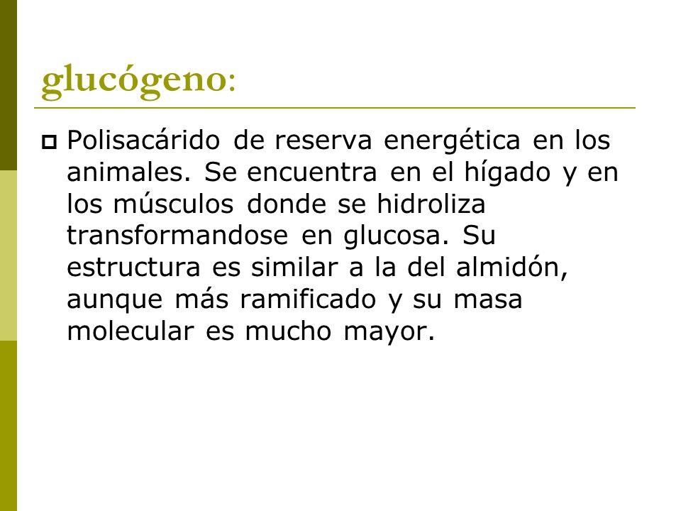 glucógeno:  Polisacárido de reserva energética en los animales.