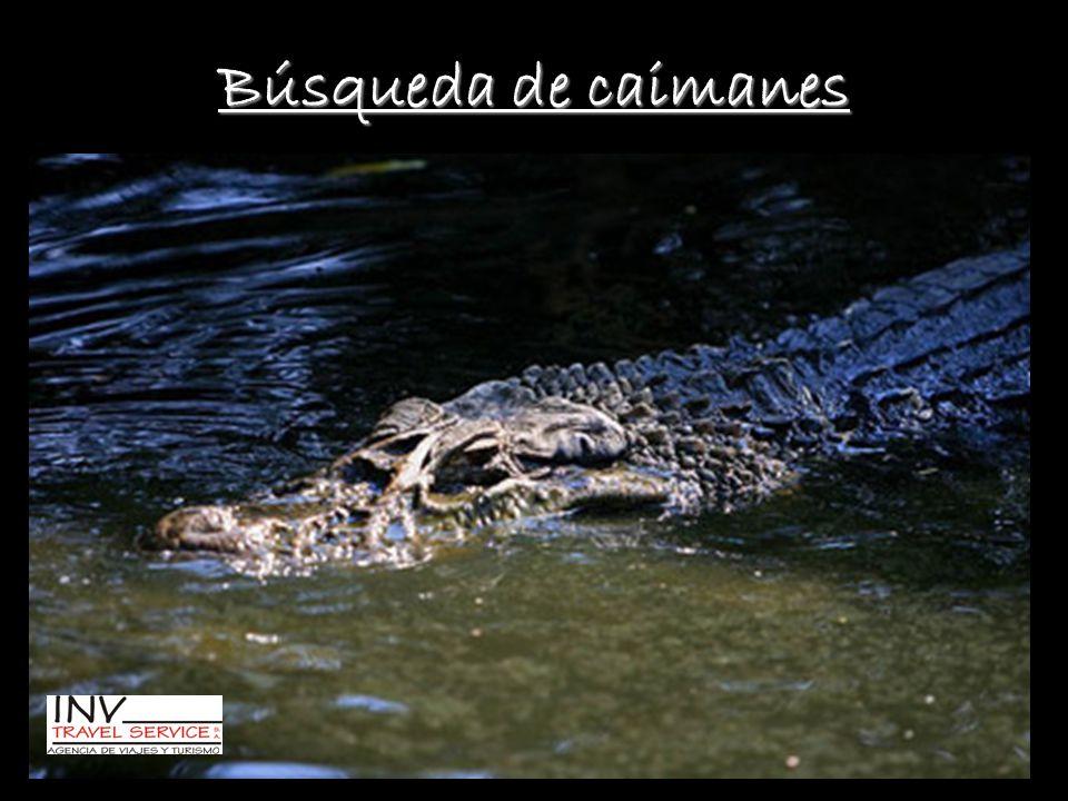 Búsqueda de caimanes