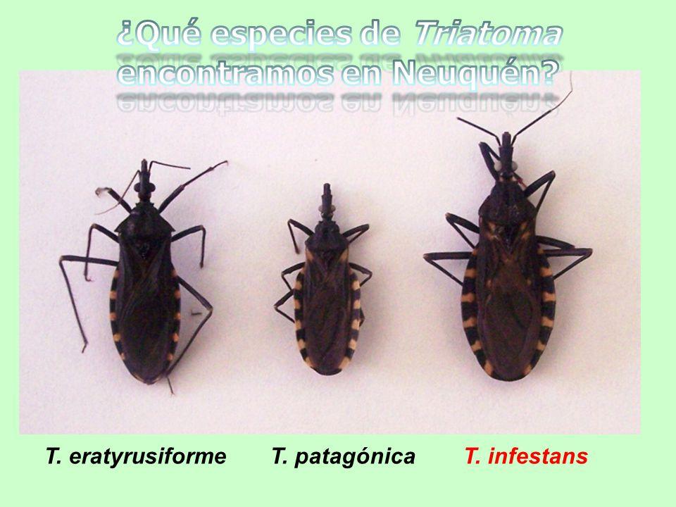 T. eratyrusiforme T. patagónica T. infestans
