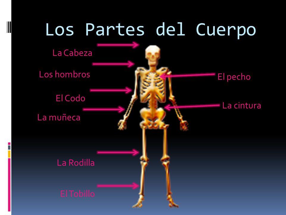 Los Partes del Cuerpo La Cabeza Los hombros El Codo La muñeca La Rodilla El Tobillo El pecho La cintura
