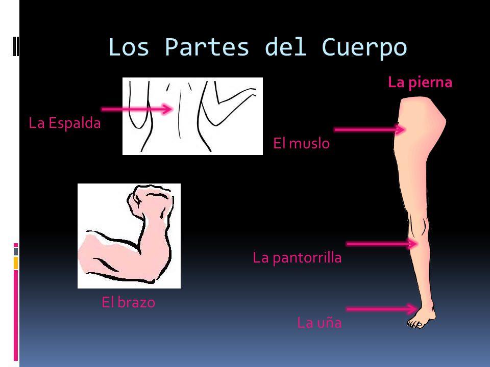 Los Partes del Cuerpo La Espalda La pierna La pantorrilla El brazo El muslo La uña