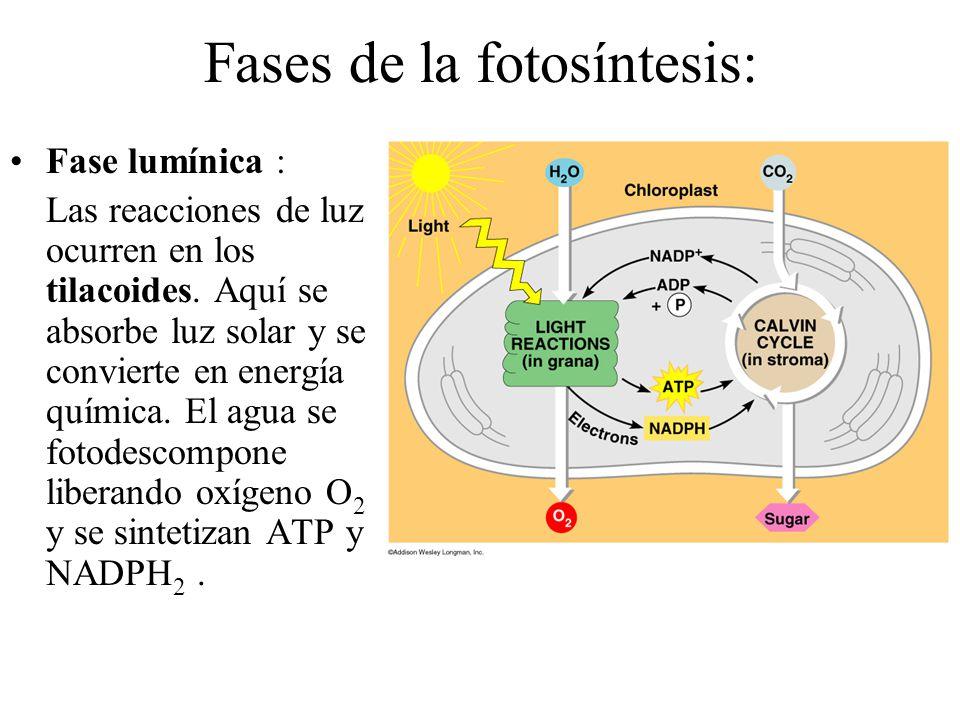 Fases de la fotosíntesis: Fase lumínica : Las reacciones de luz ocurren en los tilacoides.