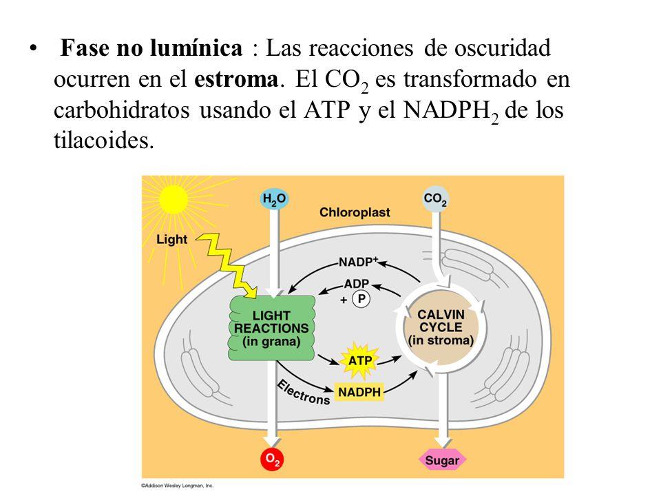 Fase no lumínica : Las reacciones de oscuridad ocurren en el estroma.