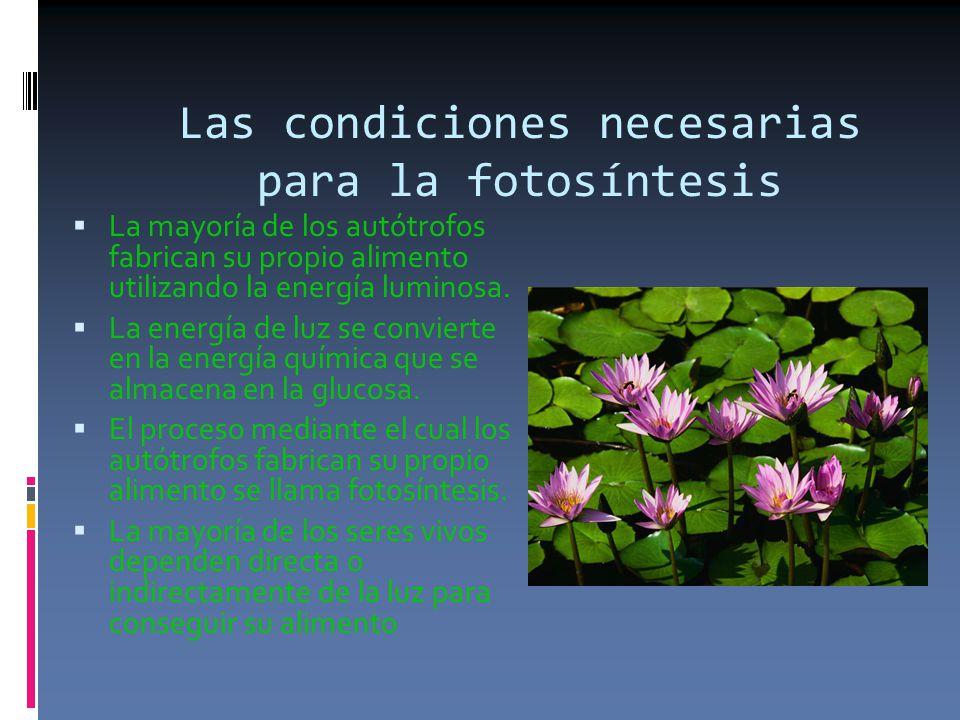 Las condiciones necesarias para la fotosíntesis  La mayoría de los autótrofos fabrican su propio alimento utilizando la energía luminosa.
