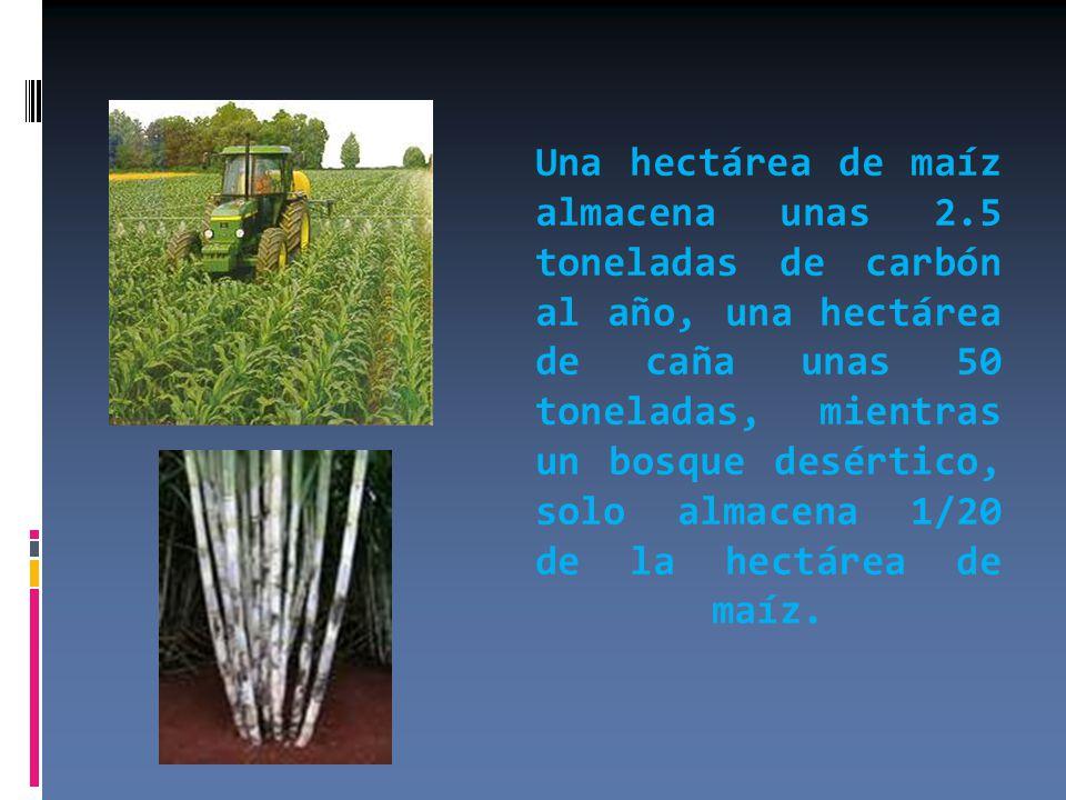 Una hectárea de maíz almacena unas 2.5 toneladas de carbón al año, una hectárea de caña unas 50 toneladas, mientras un bosque desértico, solo almacena 1/20 de la hectárea de maíz.