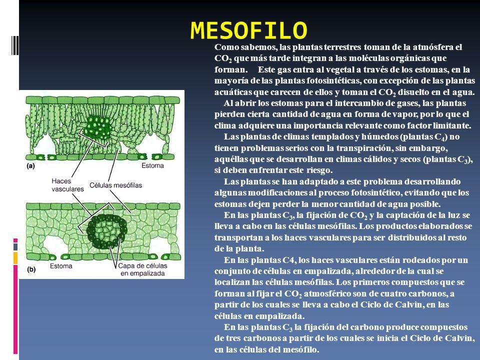 MESOFILO Como sabemos, las plantas terrestres toman de la atmósfera el CO 2 que más tarde integran a las moléculas orgánicas que forman.