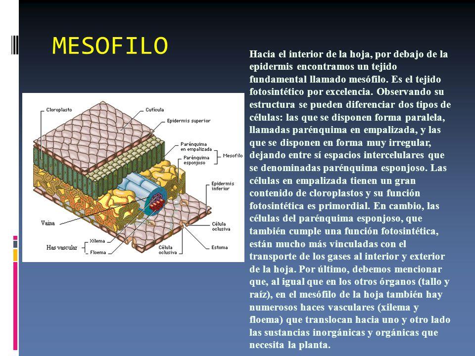 MESOFILO Hacia el interior de la hoja, por debajo de la epidermis encontramos un tejido fundamental llamado mesófilo.