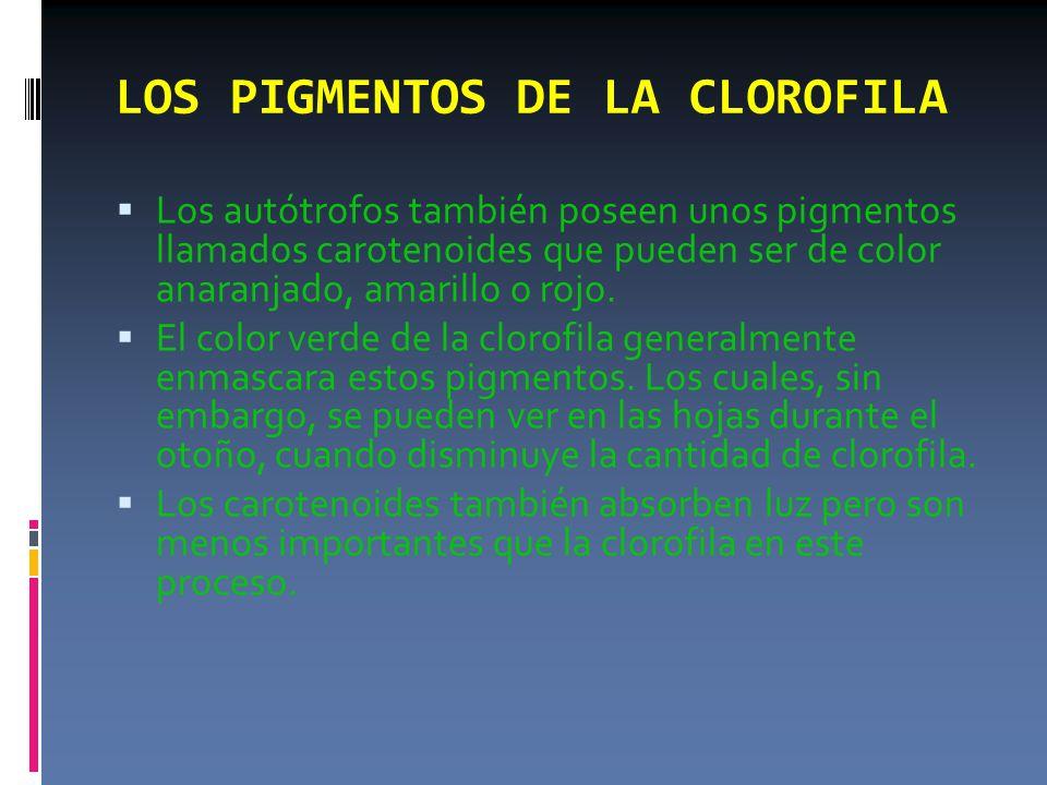 LOS PIGMENTOS DE LA CLOROFILA  Los autótrofos también poseen unos pigmentos llamados carotenoides que pueden ser de color anaranjado, amarillo o rojo.