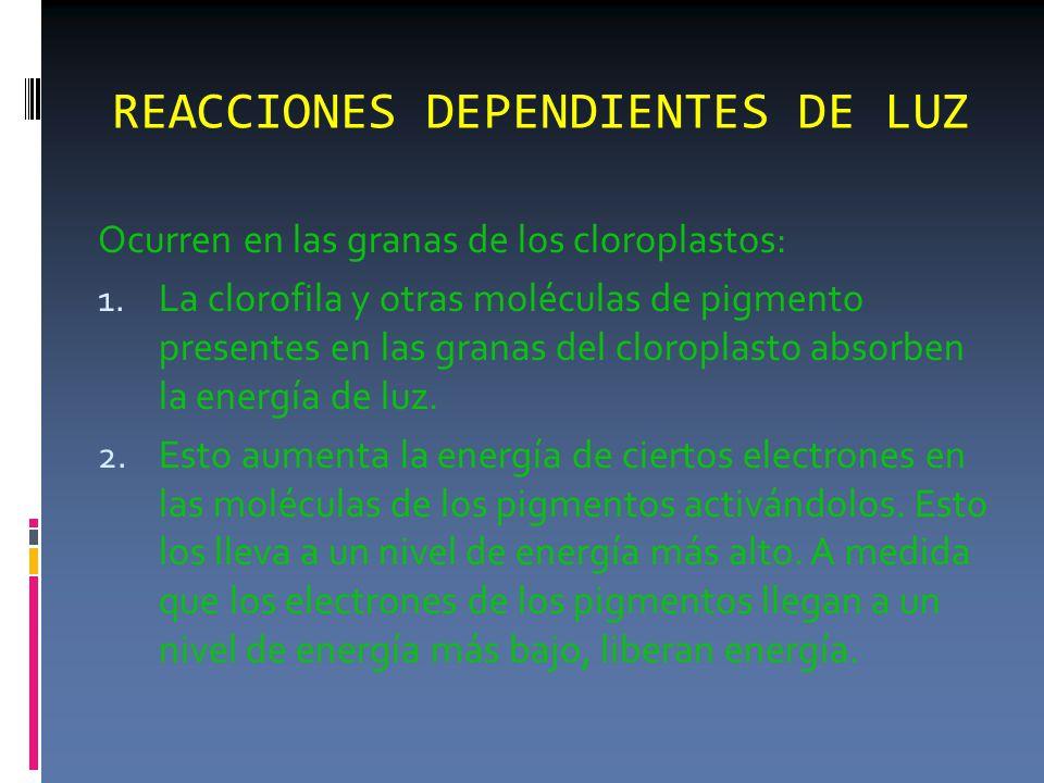 REACCIONES DEPENDIENTES DE LUZ Ocurren en las granas de los cloroplastos: 1.