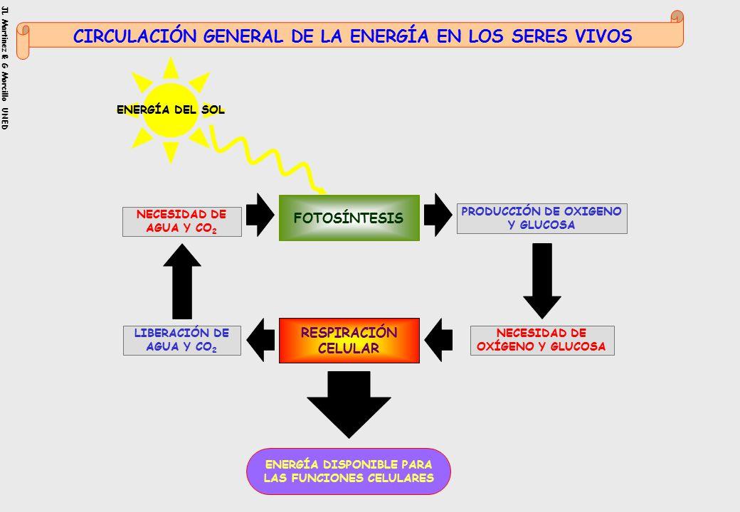 ENERGÍA DISPONIBLE PARA LAS FUNCIONES CELULARES ENERGÍA DEL SOL FOTOSÍNTESIS PRODUCCIÓN DE OXIGENO Y GLUCOSA NECESIDAD DE AGUA Y CO 2 LIBERACIÓN DE AGUA Y CO 2 RESPIRACIÓN CELULAR NECESIDAD DE OXÍGENO Y GLUCOSA CIRCULACIÓN GENERAL DE LA ENERGÍA EN LOS SERES VIVOS