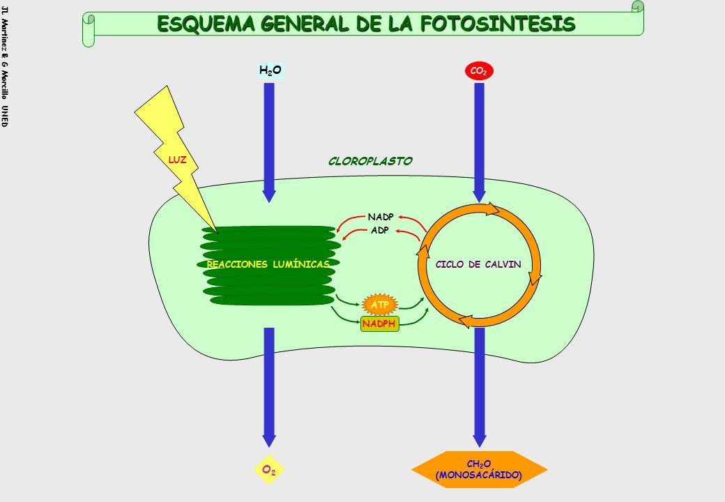 JL Martinez & G Morcillo UNED H2OH2O CO 2 CH 2 O (MONOSACÁRIDO) O2O2 ATP NADPH NADP ADP REACCIONES LUMÍNICASCICLO DE CALVIN ESQUEMA GENERAL DE LA FOTOSINTESIS LUZ CLOROPLASTO