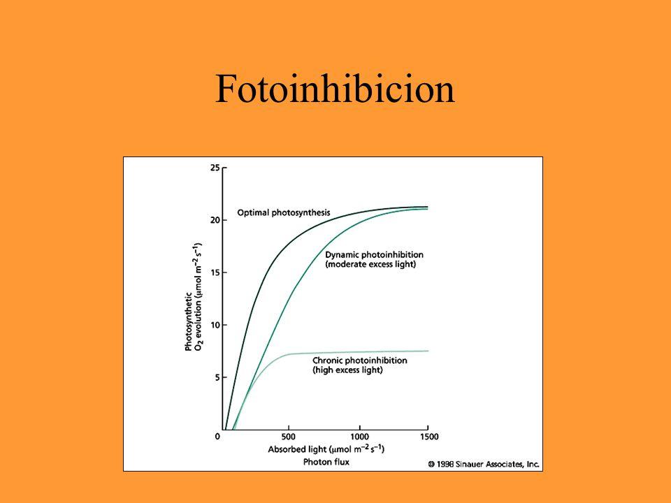 Fotoinhibición hv + O 2 = O 2 * .