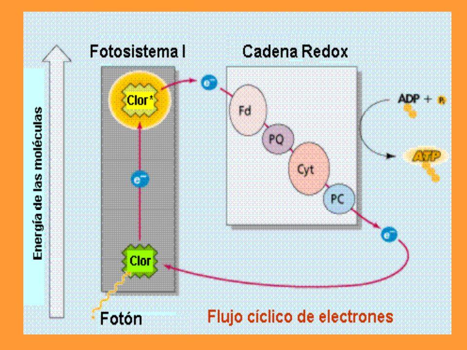 Las reacciones de oscuridad se efectúan en el estroma; mientras que las de luz ocurren en los tilacoides.