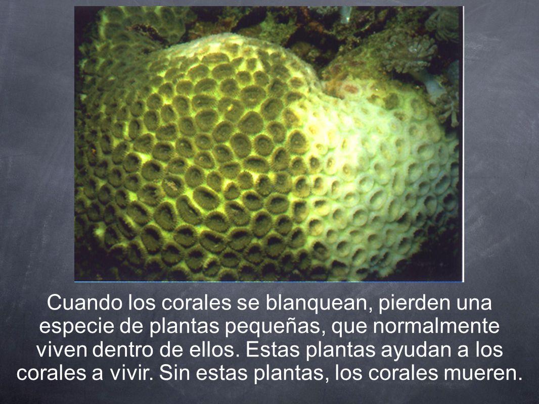 Cuando los corales se blanquean, pierden una especie de plantas pequeñas, que normalmente viven dentro de ellos.