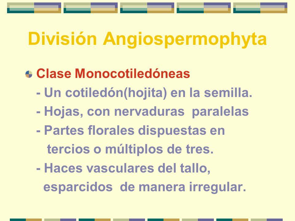 División Angiospermophyta Clase Monocotiledóneas - Un cotiledón(hojita) en la semilla.