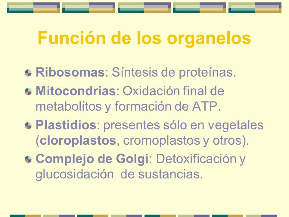 Función de los organelos Ribosomas: Síntesis de proteínas.