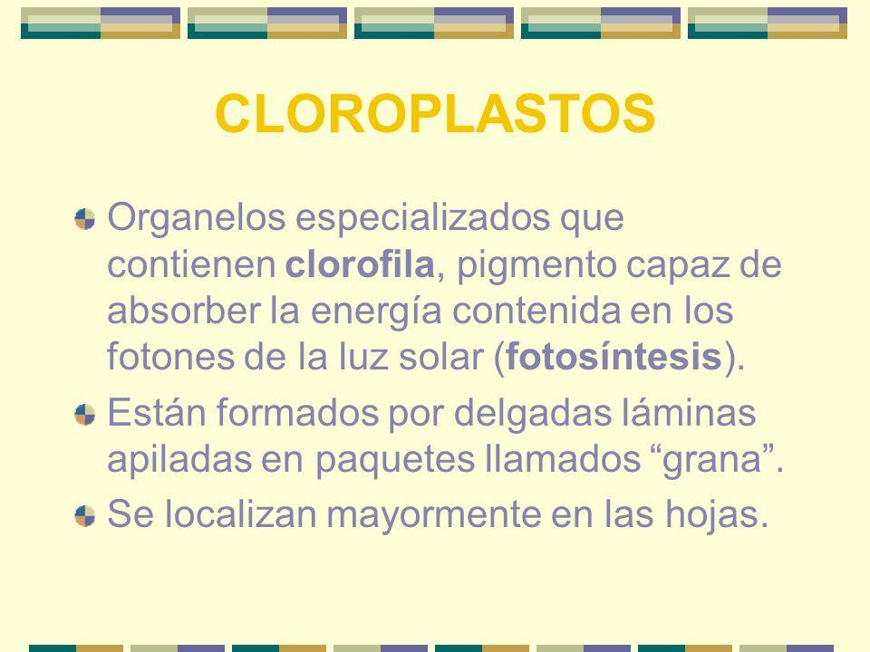 CLOROPLASTOS Organelos especializados que contienen clorofila, pigmento capaz de absorber la energía contenida en los fotones de la luz solar (fotosíntesis).