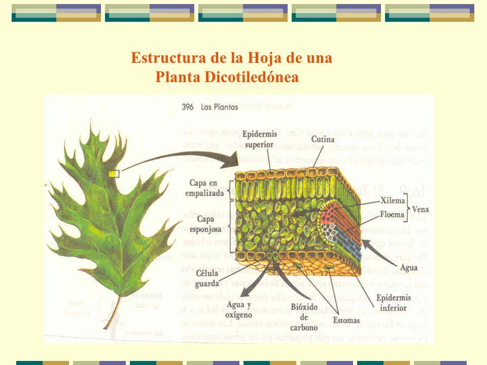 Estructura de la Hoja de una Planta Dicotiledónea