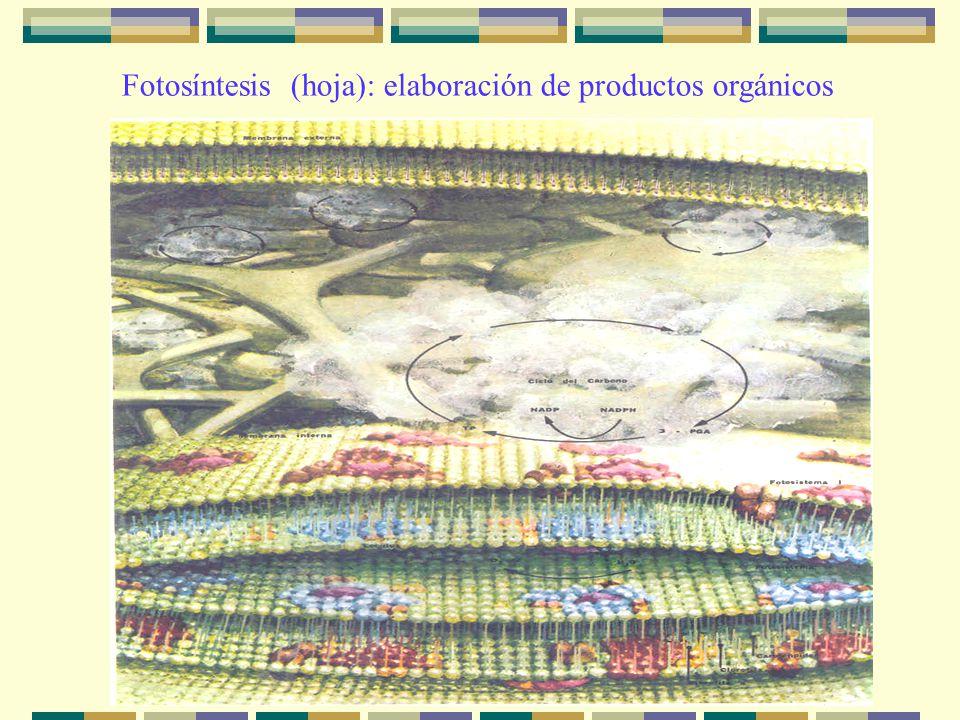 Fotosíntesis (hoja): elaboración de productos orgánicos