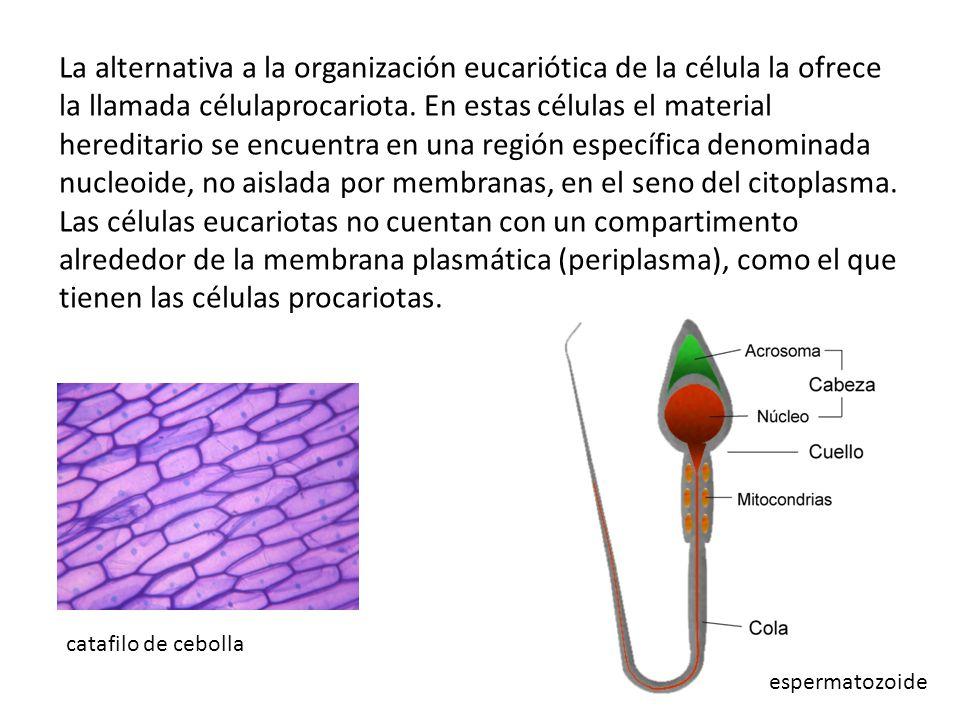La alternativa a la organización eucariótica de la célula la ofrece la llamada célulaprocariota.