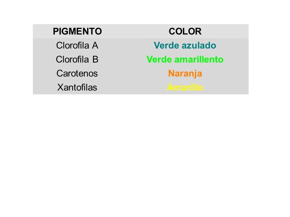 PIGMENTOCOLOR Clorofila AVerde azulado Clorofila BVerde amarillento CarotenosNaranja XantofilasAmarillo