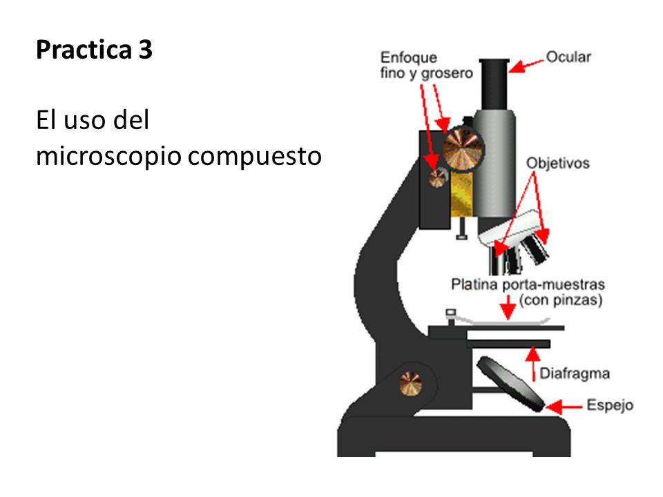 Practica 3 El uso del microscopio compuesto