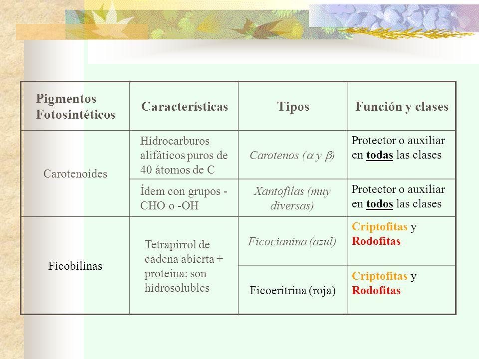 Pigmentos Fotosintéticos CaracterísticasTiposFunción y clases Carotenoides Hidrocarburos alifáticos puros de 40 átomos de C Carotenos (  y  ) Protector o auxiliar en todas las clases Ídem con grupos - CHO o -OH Xantofilas (muy diversas) Protector o auxiliar en todos las clases Ficobilinas Tetrapirrol de cadena abierta + proteina; son hidrosolubles Ficocianina (azul) Criptofitas y Rodofitas Ficoeritrina (roja) Criptofitas y Rodofitas