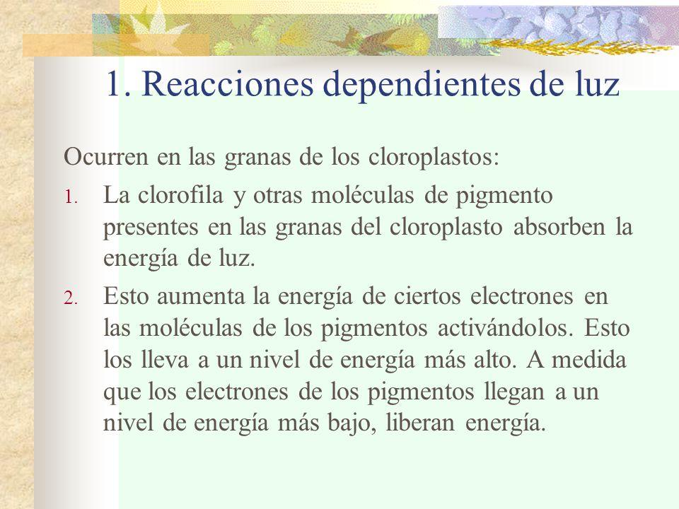 1. Reacciones dependientes de luz Ocurren en las granas de los cloroplastos: 1.