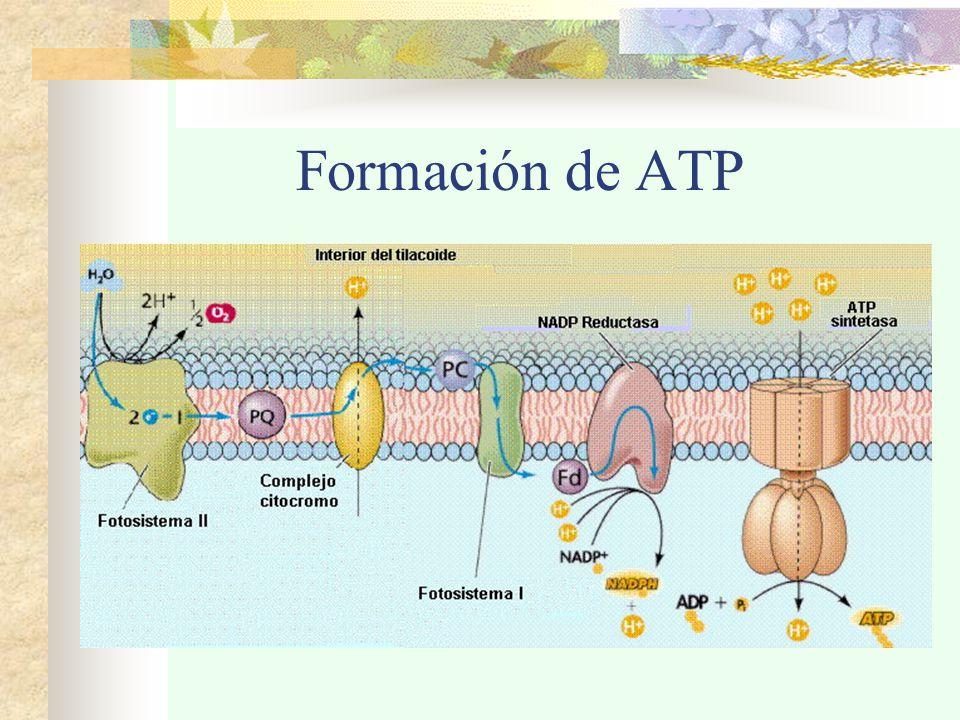 Formación de ATP
