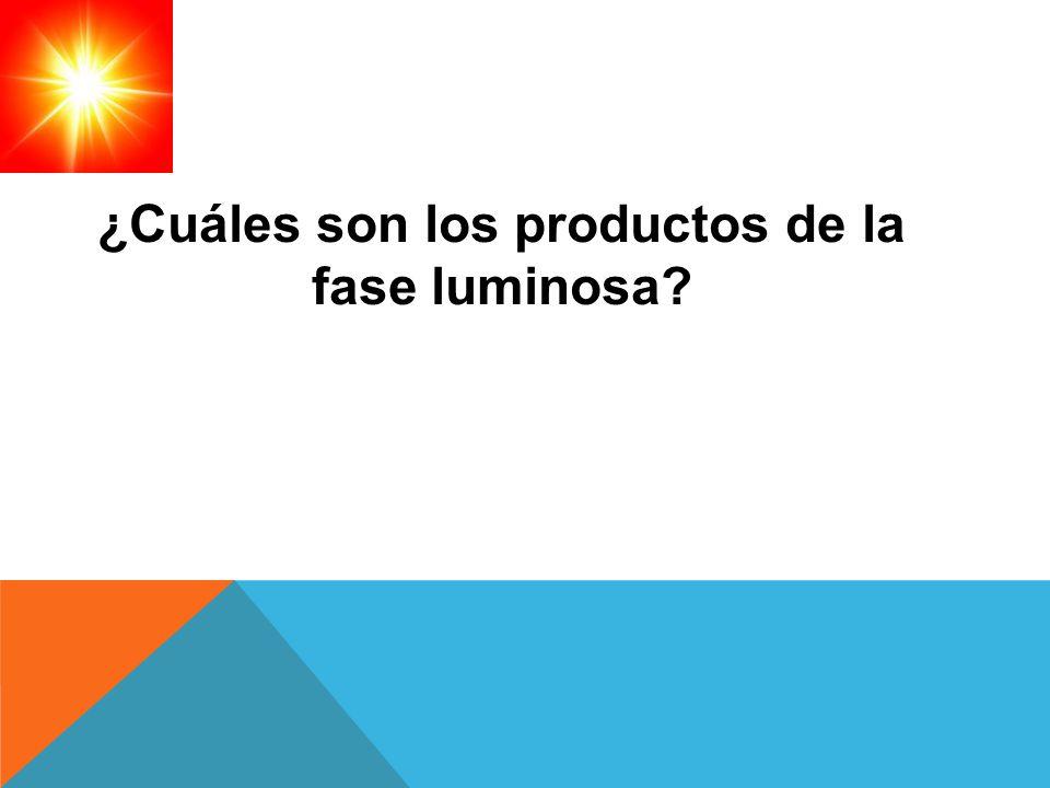 ¿Cuáles son los productos de la fase luminosa