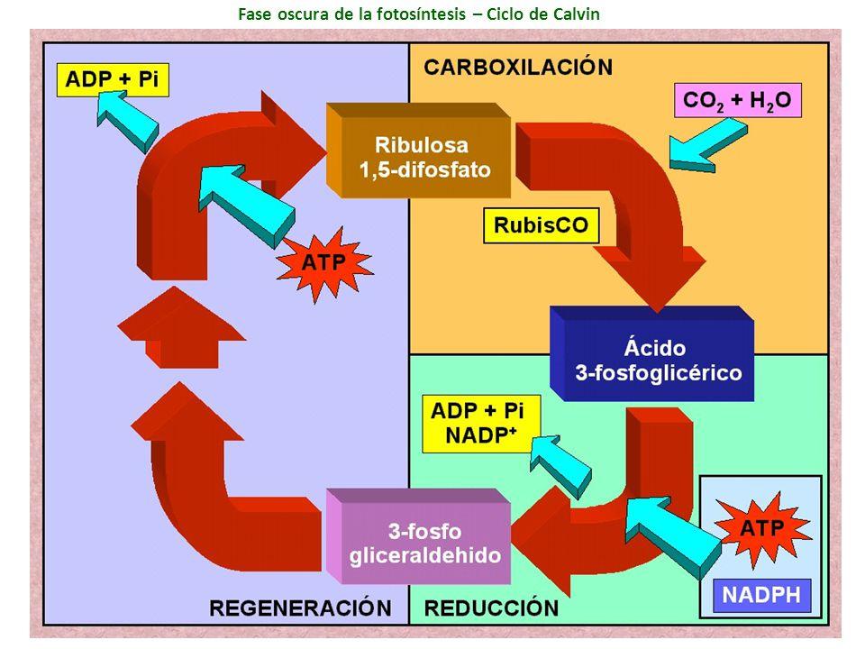 Fase oscura de la fotosíntesis – Ciclo de Calvin