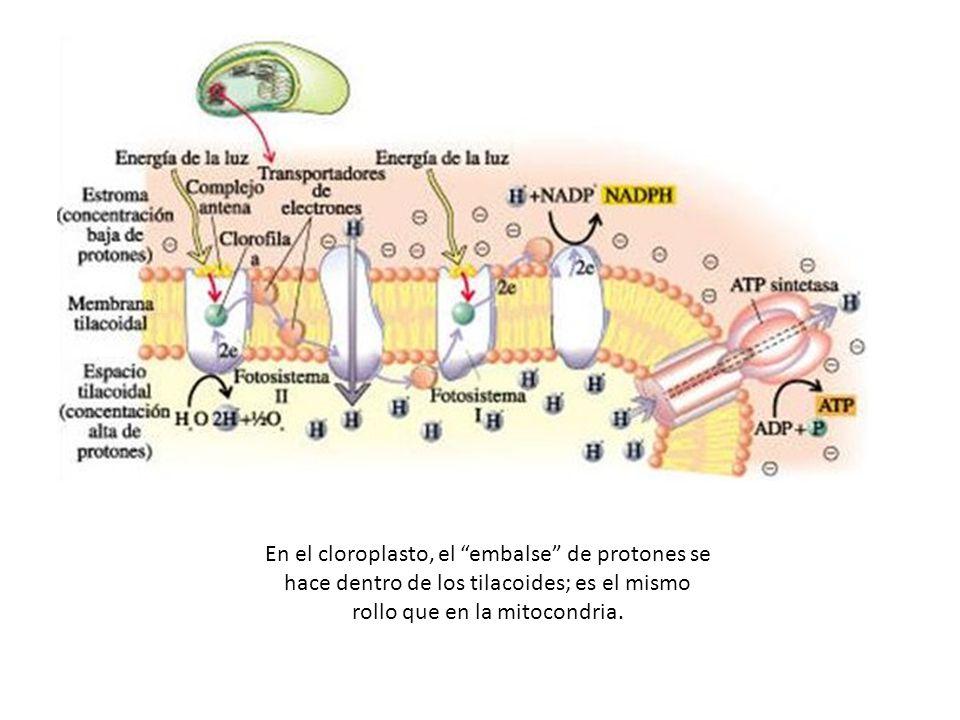 En el cloroplasto, el embalse de protones se hace dentro de los tilacoides; es el mismo rollo que en la mitocondria.