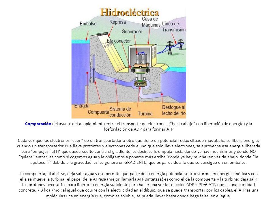 Comparación del asunto del acoplamiento entre el transporte de electrones ( hacia abajo con liberación de energía) y la fosforilación de ADP para formar ATP Cada vez que los electrones caen de un transportador a otro que tiene un potencial redox situado más abajo, se libera energía; cuando un transportador que lleva protontes y electrones cede a uno que sólo lleva electrones, se aprovecha esa energía liberada para empujar al H + que queda suelto contra el gradiente, es decir, se le empuja hacia donde ya hay muchísimos y donde NO quiere entrar; es como si cogemos agua y la obligamos a ponerse más arriba (donde ya hay mucha) en vez de abajo, donde le apetece ir debido a la gravedad; así se genera un GRADIENTE, que es parecido a lo que se consigue en un embalse.