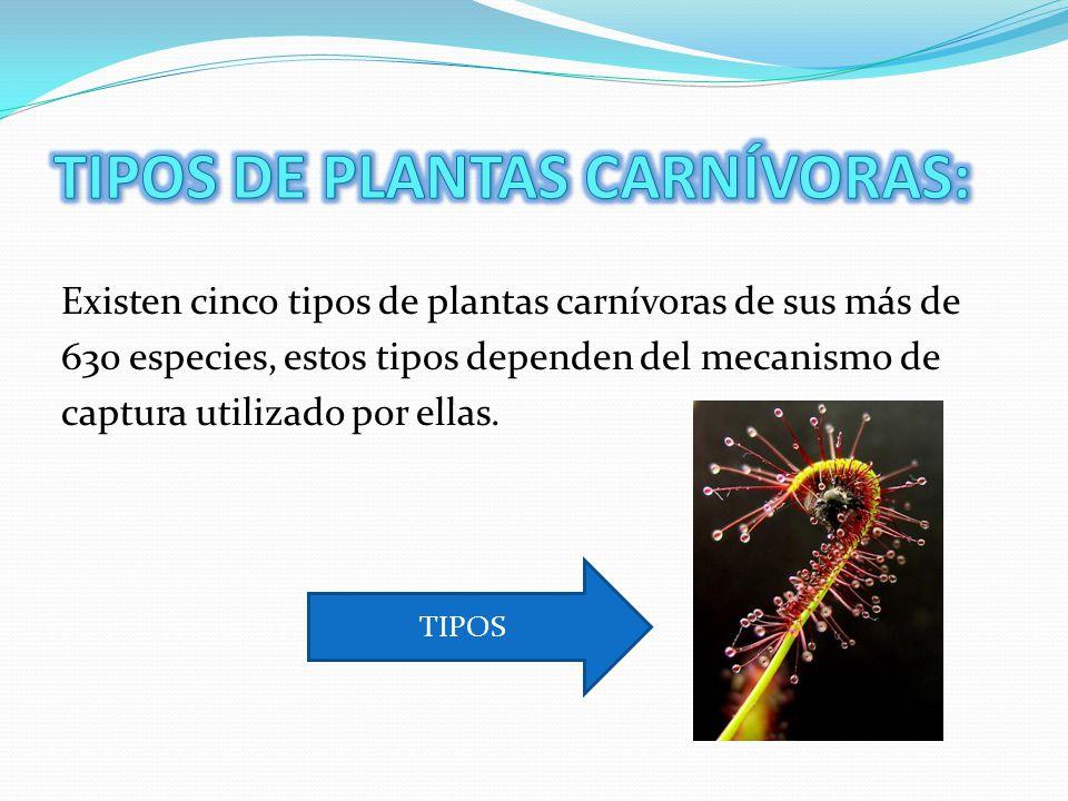 Existen cinco tipos de plantas carnívoras de sus más de 630 especies, estos tipos dependen del mecanismo de captura utilizado por ellas.