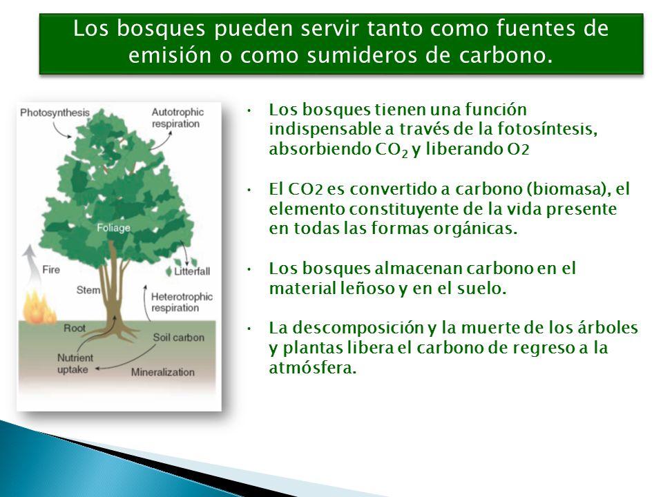 Los bosques pueden servir tanto como fuentes de emisión o como sumideros de carbono.