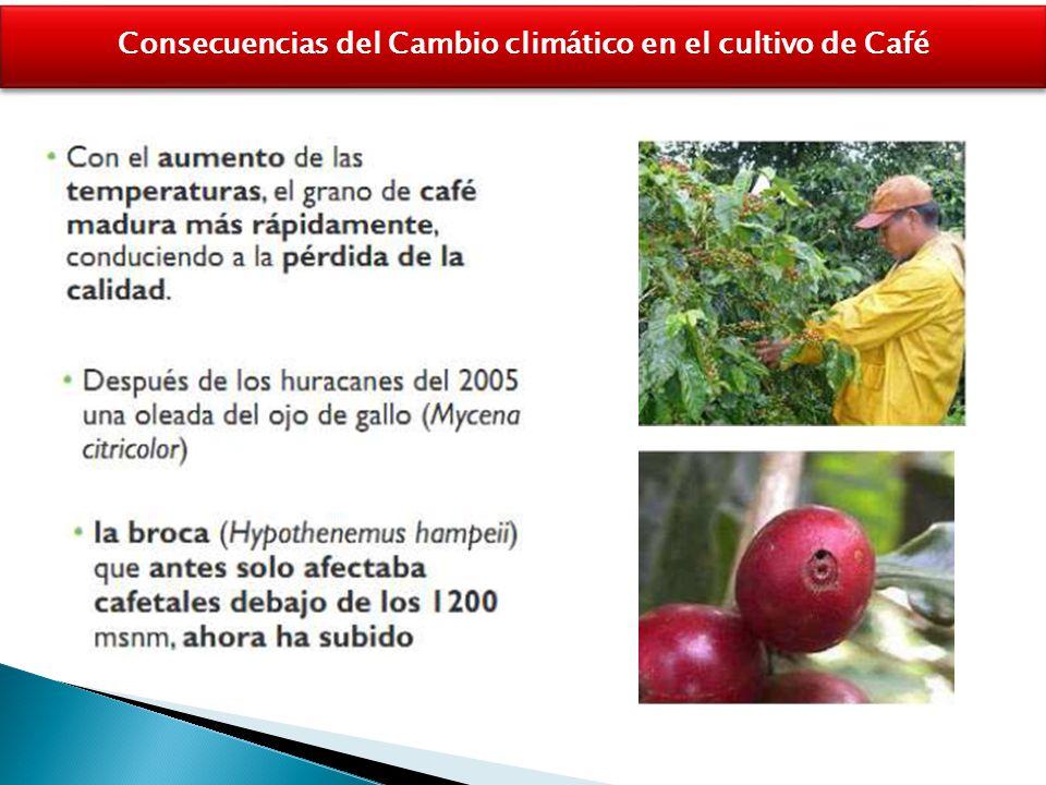 Consecuencias del Cambio climático en el cultivo de Café