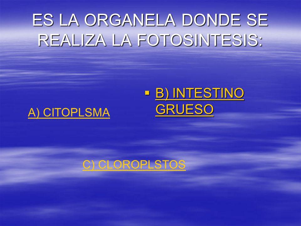 ES LA ORGANELA DONDE SE REALIZA LA FOTOSINTESIS:  B) INTESTINO GRUESO B) INTESTINO GRUESO B) INTESTINO GRUESO A) CITOPLSMA C) CLOROPLSTOS