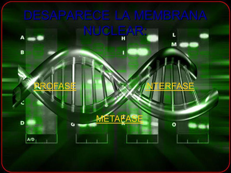 DESAPARECE LA MEMBRANA NUCLEAR: PROFASE I NTERFASE METAFASE