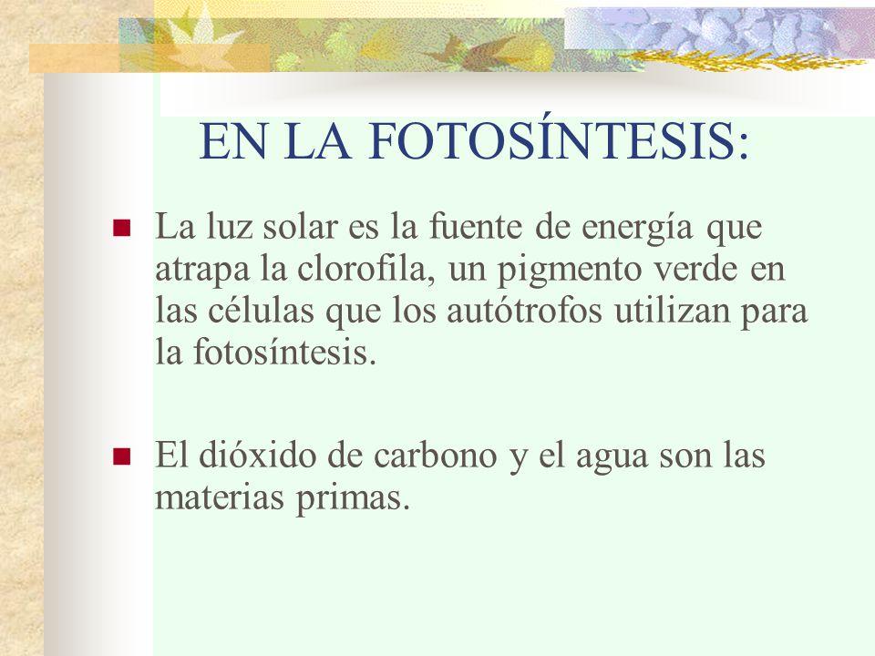 EN LA FOTOSÍNTESIS: La luz solar es la fuente de energía que atrapa la clorofila, un pigmento verde en las células que los autótrofos utilizan para la fotosíntesis.