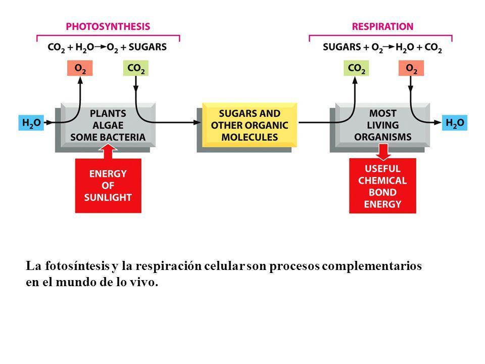 La fotosíntesis y la respiración celular son procesos complementarios en el mundo de lo vivo.