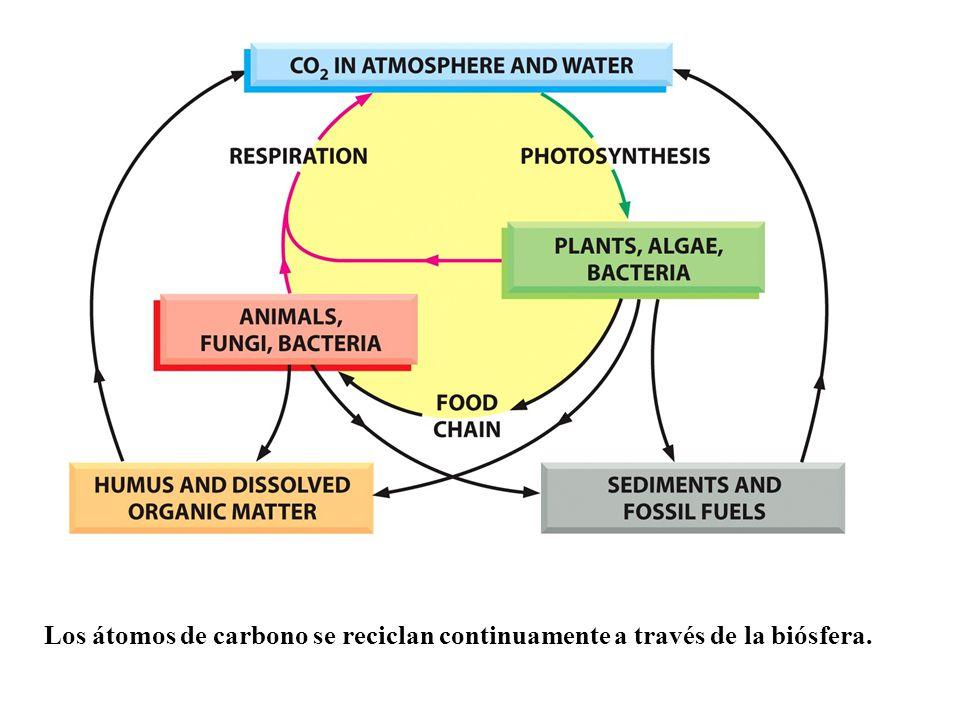 Los átomos de carbono se reciclan continuamente a través de la biósfera.
