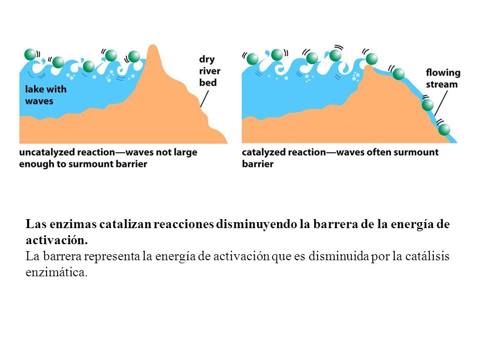 Las enzimas catalizan reacciones disminuyendo la barrera de la energía de activación.