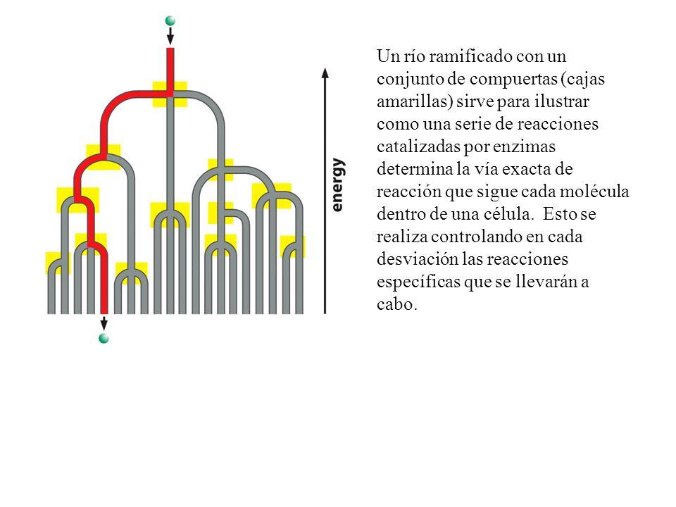 Un río ramificado con un conjunto de compuertas (cajas amarillas) sirve para ilustrar como una serie de reacciones catalizadas por enzimas determina la vía exacta de reacción que sigue cada molécula dentro de una célula.
