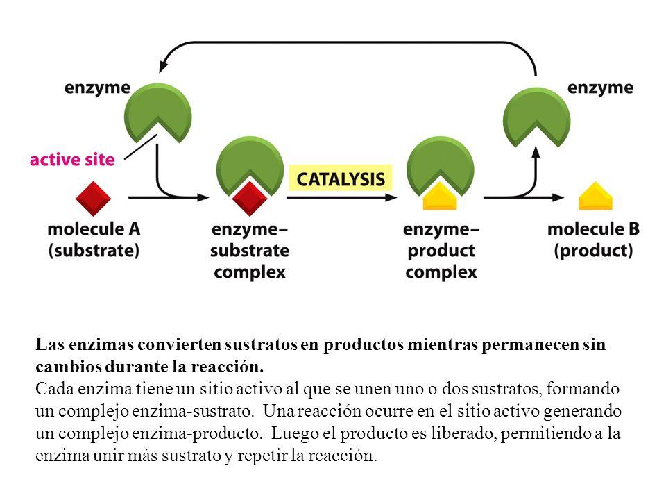 Las enzimas convierten sustratos en productos mientras permanecen sin cambios durante la reacción.