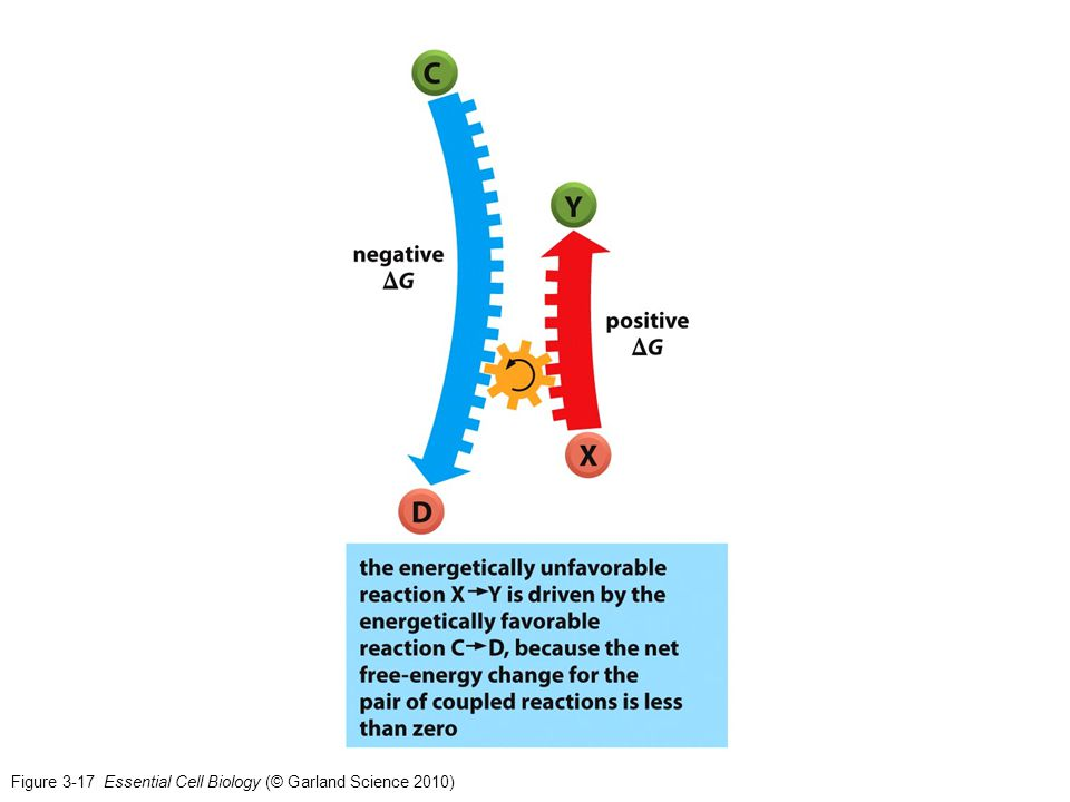 Figure 3-17 Essential Cell Biology (© Garland Science 2010)