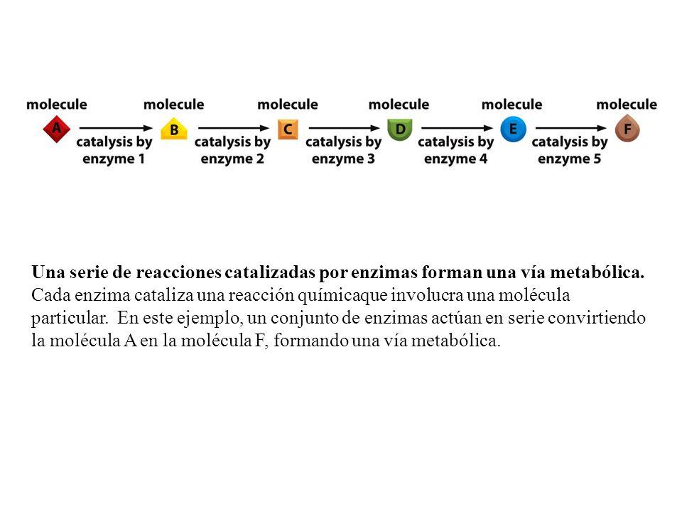Una serie de reacciones catalizadas por enzimas forman una vía metabólica.