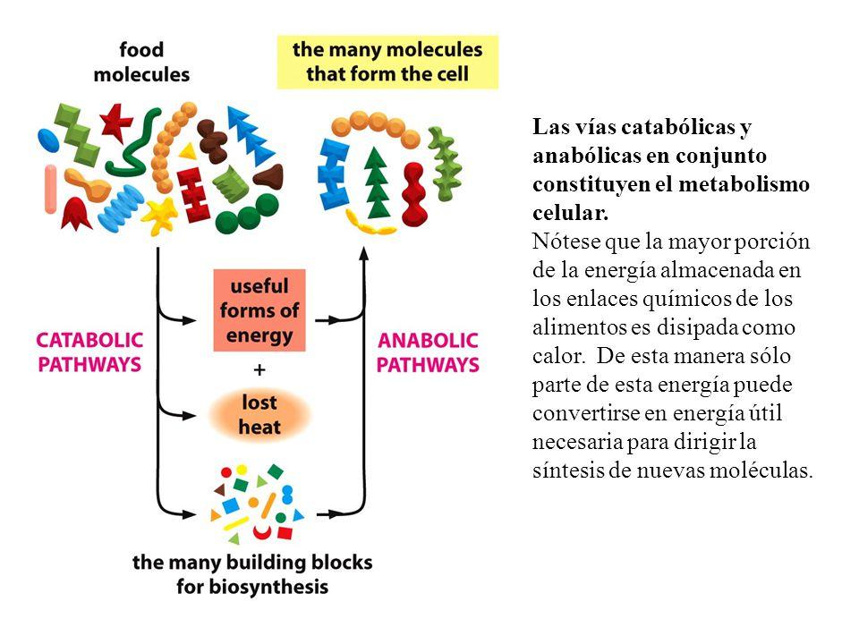 Las vías catabólicas y anabólicas en conjunto constituyen el metabolismo celular.